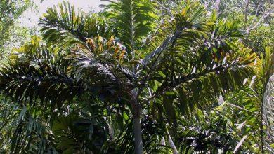 درخت ساکوراتی